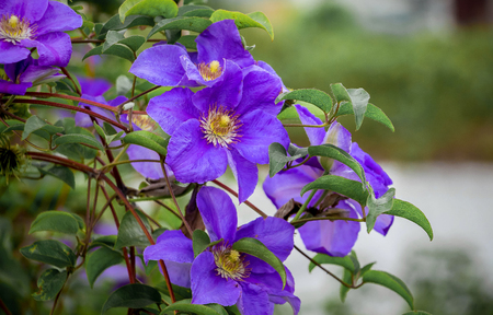Purple flowers of clematis in  garden on  blurry background