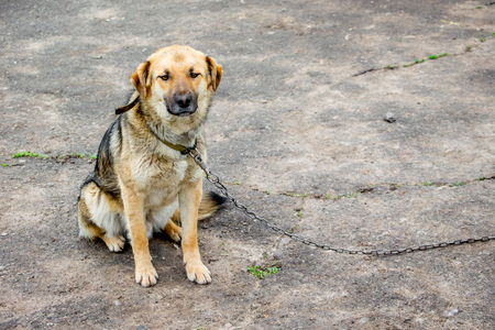 Lonely dog on  chain. Tied dog is bored. Copy spase for text