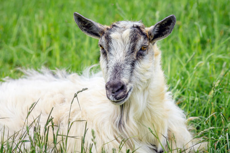 Portrait of  white goat against green grass background. Domestic animals in  pasture