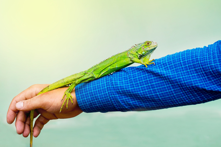Green lizard sits in a man on his elongated hand. Being attentive to animals