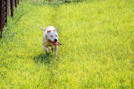 Young white dog breed pitbull running through  green grass. Walk dogs