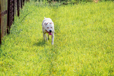 Dog  pitbull running through the green grass to his master