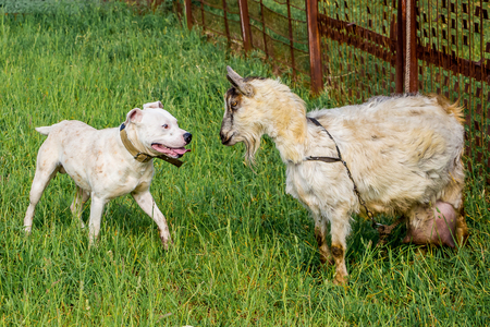 Young dog pitbull protects the goat. Animals are friends. Strong friendship Stock Photo