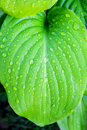 Green leaf of hosta with drops of dew. Texture for design Stock Photo