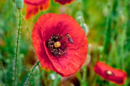 Anzac poppy flower remembrance picturesque picturesboss photo bee collects honey from poppy flowers beautiful field red poppies natural drugs glade of red mightylinksfo