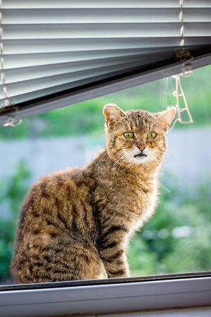 Brown striped cat sits on  window sill and wants to enter room. Window with jalousie. Advertising a jalousie