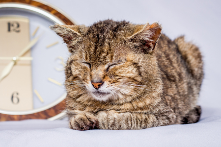 Cat sleeps near  clock. Clock shows that it's time to wake up. Awakening from sleep. Wake up signal