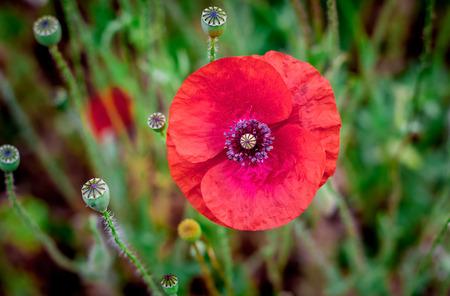 Flower of poppy in  field on dark background. Summer time