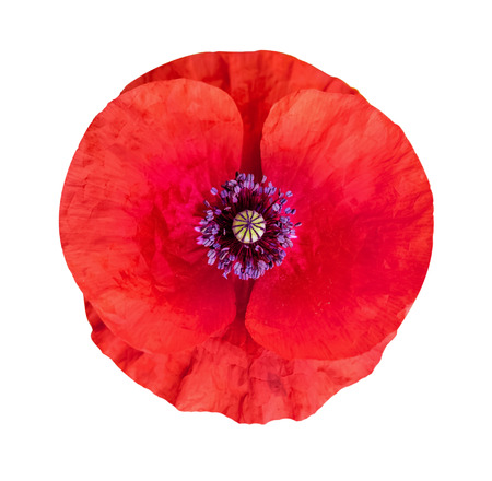 Flower of poppy on  white isolated background. Remembrance day, Anzac Day, serenity. Flower symbol