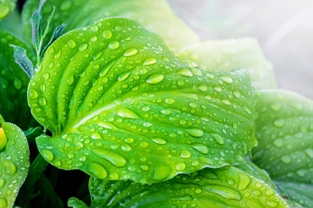 Light-green leaves of the hosta with drops of rain against sunlight Stock Photo