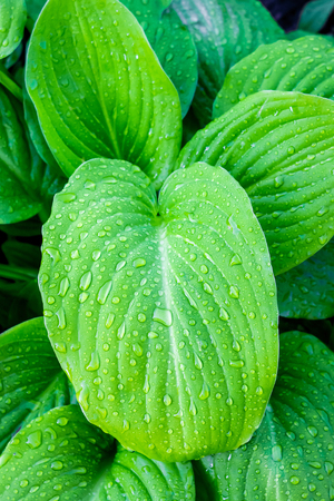 Leaves  Hosta  with drops of dew. Morning in the garden Stock Photo
