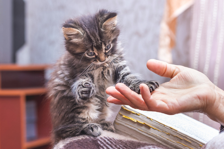 A woman holds a paw of a little kitten in her hand. The kitten put a hand on the womans hand. A woman and a kitten are friends. A kitten is greeted with a mistress
