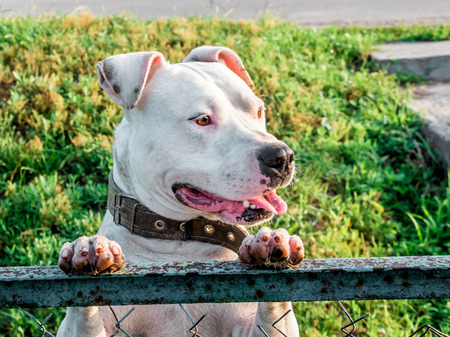 White dog breeds pitbull stands on  hind legs and looks through the fence 写真素材