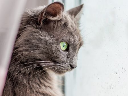 A gray  pure-bred cat looks at the window as it rains. Drops of rain on the window glass