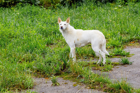 A white stray dog on the side of the road among the green grass. The dog is looking for the owner