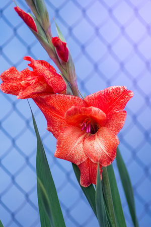 Red gladiolus on a blue background near the fence