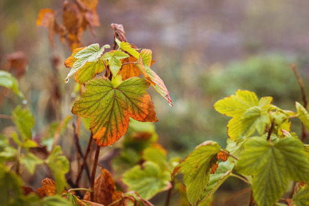 Multicolored currant leaves on the branches of the bush in the autumn garden