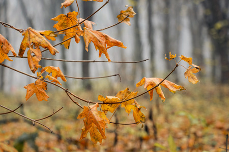 Branch with orange dried maple leaves in the autumn forest