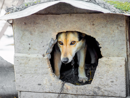 The dog, chained, looks  with kennel. Animals in captivity Standard-Bild - 110177476