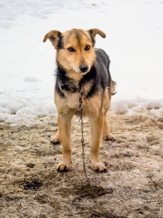Dog on the chain in the farm yard in the winter Standard-Bild - 110177744