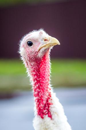 White turkey is considering something. Portrait of turkey close up