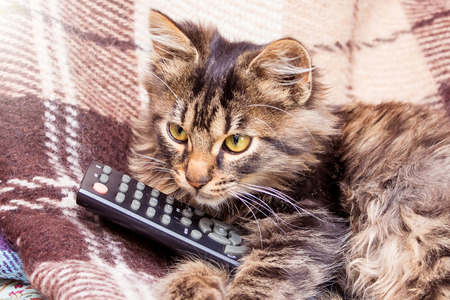 A small striped cat keeps on the paws of the console for the switch of television programs. The cat is watching the news on TV
