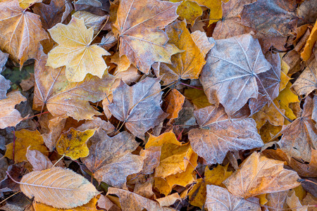 Texture of dry autumn leaves, covered with frost