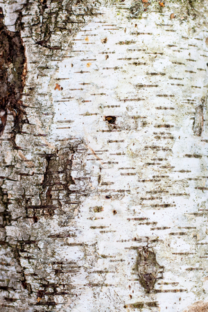 Texture of birch bark. Background for design Stok Fotoğraf