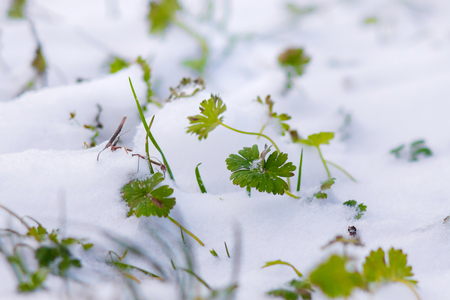 Green grass is covered with snow. First snow. In the spring grass sprouts through the snow
