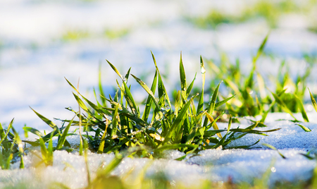 Green grass is covered with snow on a clear winter day during thaw