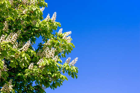 Branch of chestnut with flowers on the background of blue sky in sunny weather. Copy space