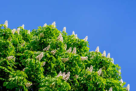 White flowers of chestnut against a background of blue sky. Copy space 版權商用圖片