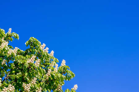 Flowers of chestnut against a background of blue sky. Chestnut bloom. Copy space