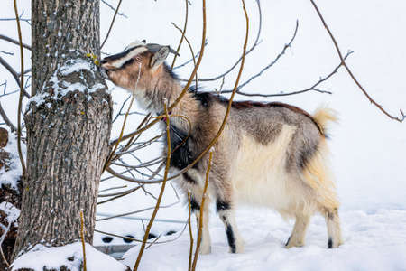 Goat is looking for food on the street in the winter. Breeding of domestic animals Stok Fotoğraf