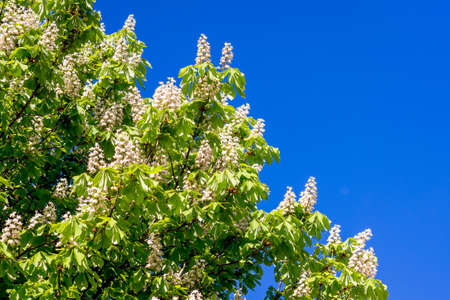 White flowers of chestnut against the background of the blue sky. Chestnut bloom. Copy space