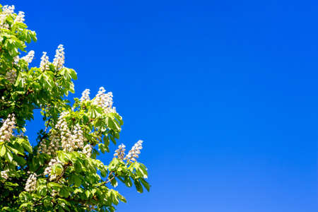 Flowers of chestnut against a background of blue sky. Copy space
