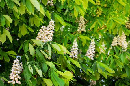 White flowers of chestnut among the green leaf. Chestnut bloom 版權商用圖片