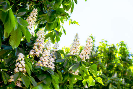 White flowers of chestnut in the open air. Copy space