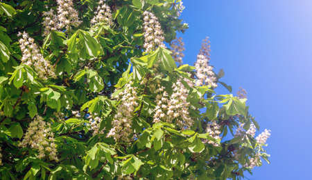 Flowers of chestnut on a blue sky background in sunny weather