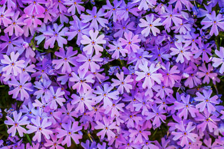 Pattern of purple small flowers phlox. Phloxes on the flowerbed Stock fotó