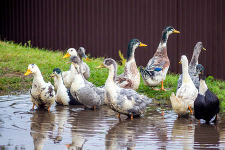 Ducks are bathed in a pond on the farm. Breeding and sale of poultry