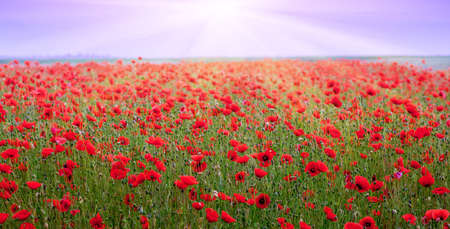 The rays of the sun above the poppy field. Red poppies in the field during the sunset