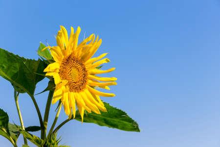 Yellow sunflower flower on a blue background. Copy space Foto de archivo