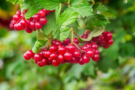 Bright red clusters of guelder rose on a green background