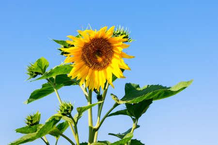 Sunflower on a blue sky background in sunny weather