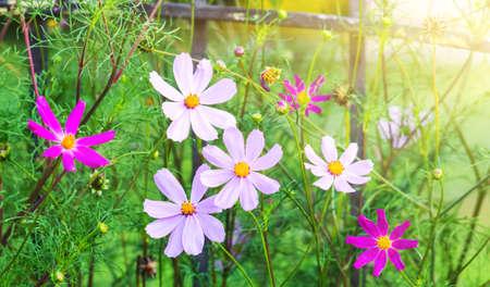 Flowers kosmeya near the fence on a sunny day