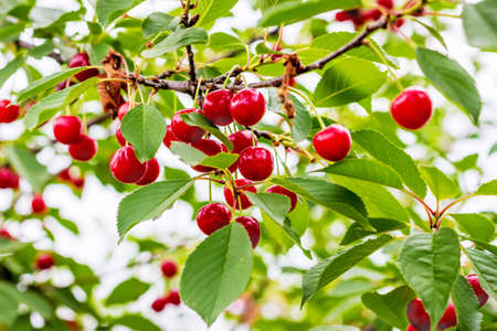Branch with red berries cherries. Fruit-berry trees