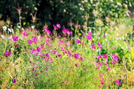 Pink flowers of kosmeya in the garden in sunny weather. Flower garden in the garden