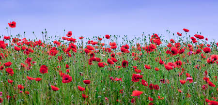Red poppies blossom in the field. Panorama