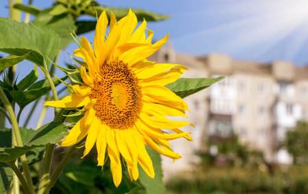 Flower of sunflower against the background of city houses in sunny weather